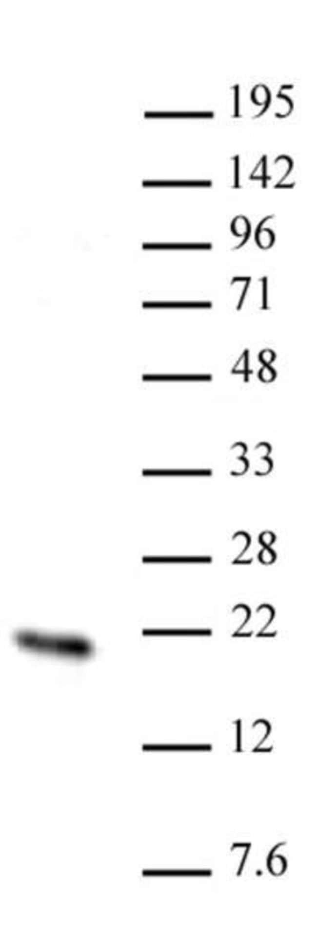 Hmgn2 Rabbit anti-Human, Unconjugated, Polyclonal, Active Motif:Antibodies:Primary