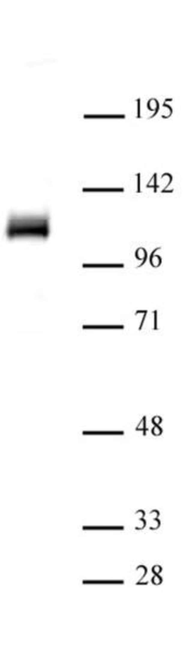 OGT/O-GlcNAc transferase Rabbit anti-Human, Mouse, Unconjugated, Polyclonal,