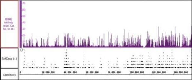 PBRM1 Rabbit anti-Human, Mouse, Unconjugated, Polyclonal, Active Motif:Antibodies:Primary