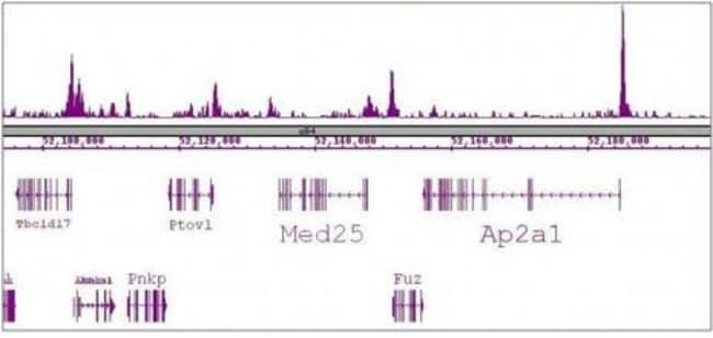 SRF Rat anti-Human, Mouse, Clone: 2C5, Active Motif:Antibodies:Primary