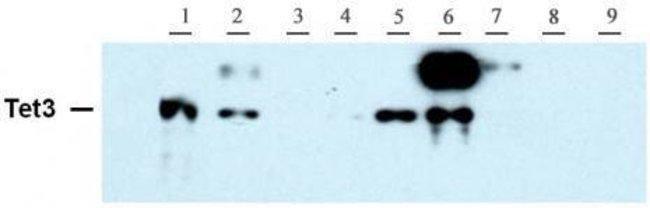 Tet3 Rabbit anti-Mouse, Unconjugated, Polyclonal, Active Motif:Antibodies:Primary