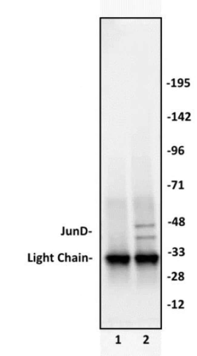 JunD Rabbit anti-Human, Unconjugated, Polyclonal, Active Motif:Antibodies:Primary