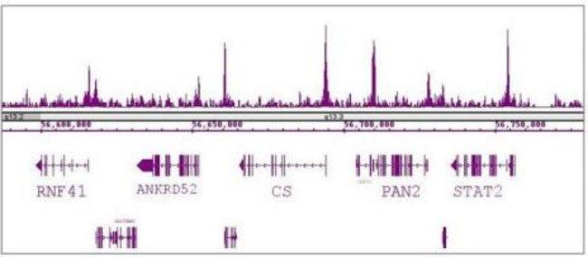 RBBP5 Rabbit anti-Human, Unconjugated, Polyclonal, Active Motif:Antibodies:Primary