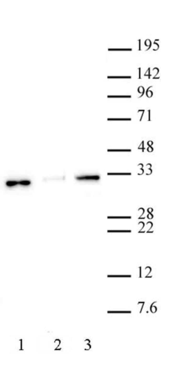 Histone H1.0 Rabbit anti-Human, Mouse, Unconjugated, Polyclonal, Active
