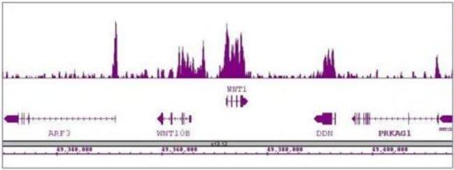 Nanog Rabbit anti-Human, Mouse, Unconjugated, Polyclonal, Active Motif:Antibodies:Primary