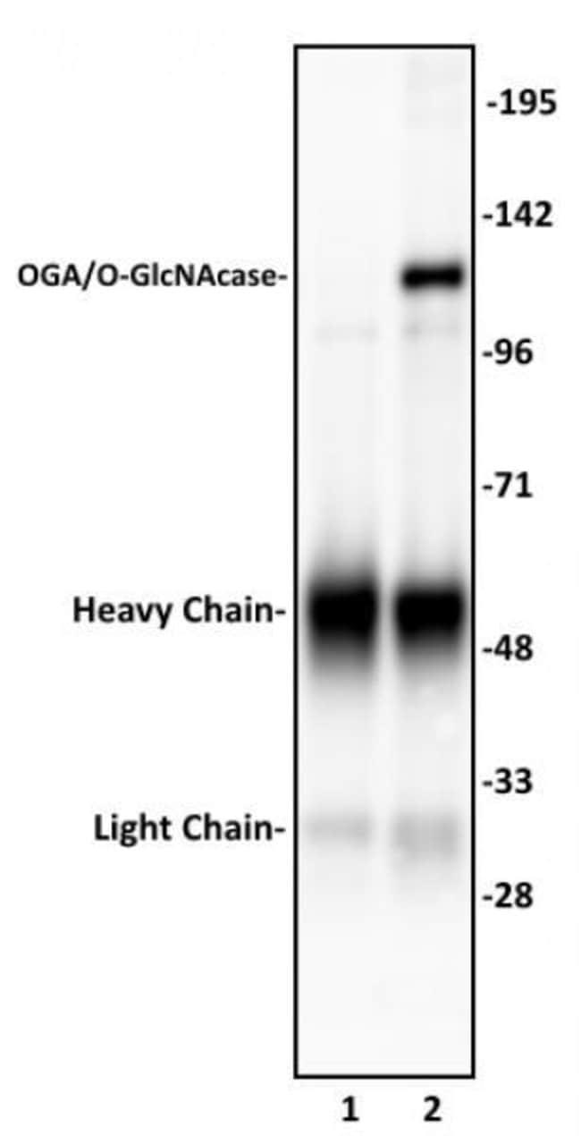 OGA/O-GlcNAcase Rabbit anti-Human, Unconjugated, Polyclonal, Active Motif:Antibodies:Primary