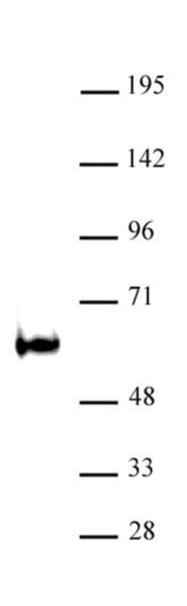 TDG / Thymine-DNA glycosylase Rabbit anti-Mouse, Unconjugated, Polyclonal,