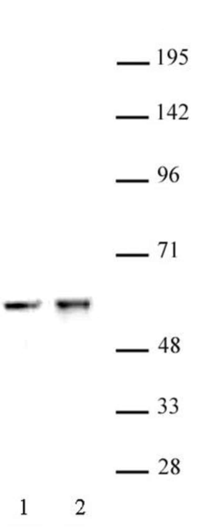 CDK8 Rabbit anti-Human, Mouse, Unconjugated, Polyclonal, Active Motif:Antibodies:Primary