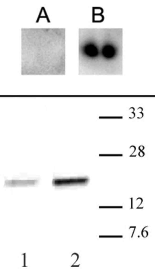 Phospho-CENP-A (Ser18) Rabbit anti-Human, Unconjugated, Polyclonal, Active