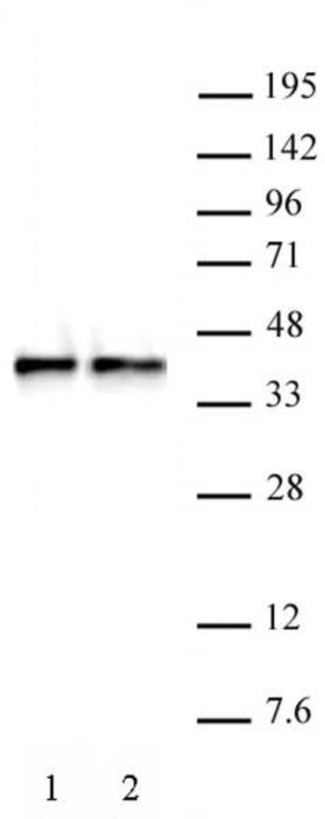 WDR5 Rabbit anti-Human, Unconjugated, Polyclonal, Active Motif:Antibodies:Primary