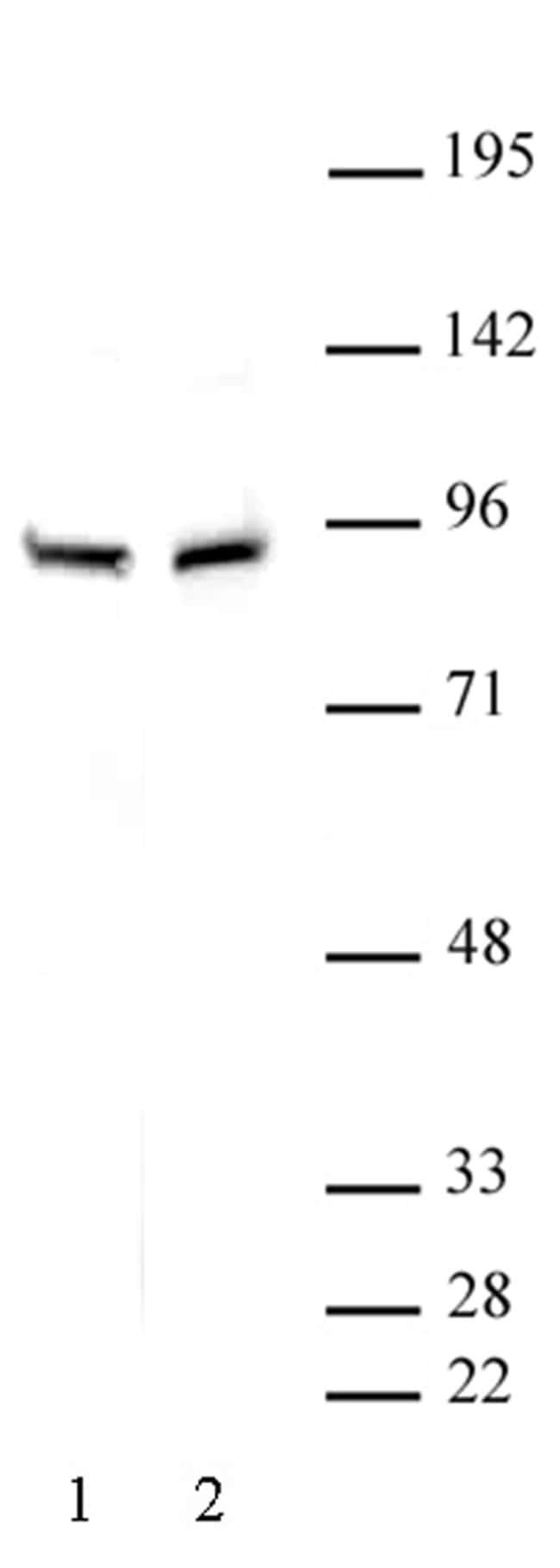 beta-Catenin Rabbit anti-Human, Unconjugated, Polyclonal, Active Motif:Antibodies:Primary