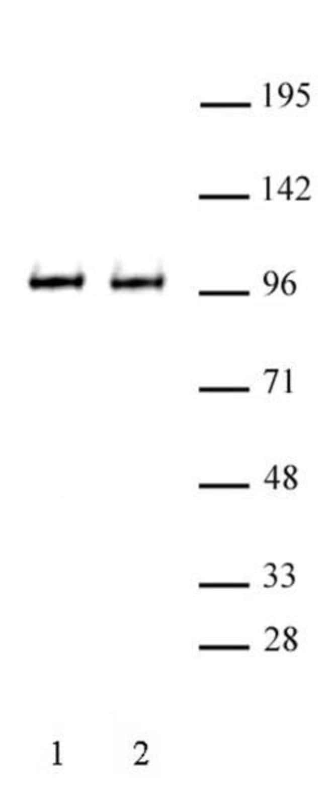 BRD3 Rabbit anti-Human, Mouse, Unconjugated, Polyclonal, Active Motif:Antibodies:Primary
