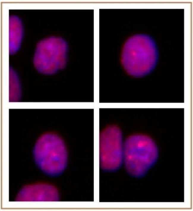 PRMT2 Rabbit anti-Human, Unconjugated, Polyclonal, Active Motif:Antibodies:Primary
