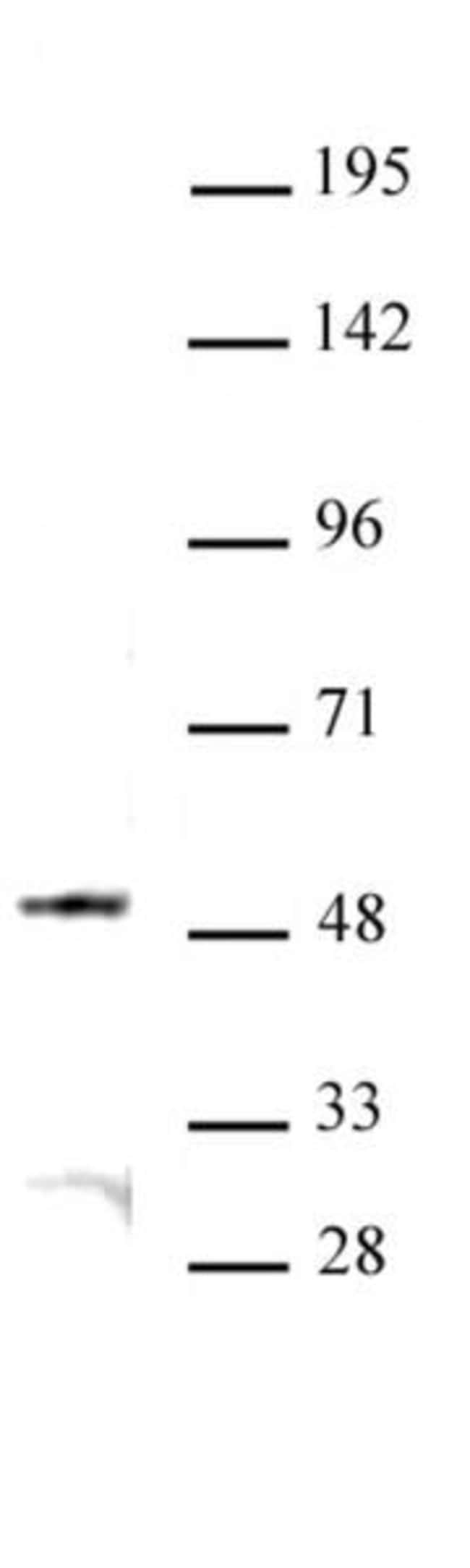 JMJD6 Rabbit anti-Human, Unconjugated, Polyclonal, Active Motif:Antibodies:Primary