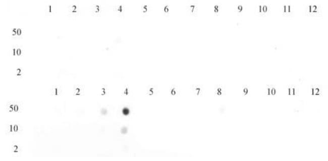 Histone H3K23me3 Rabbit anti-Human, Unconjugated, Polyclonal, Active Motif:Antibodies:Primary