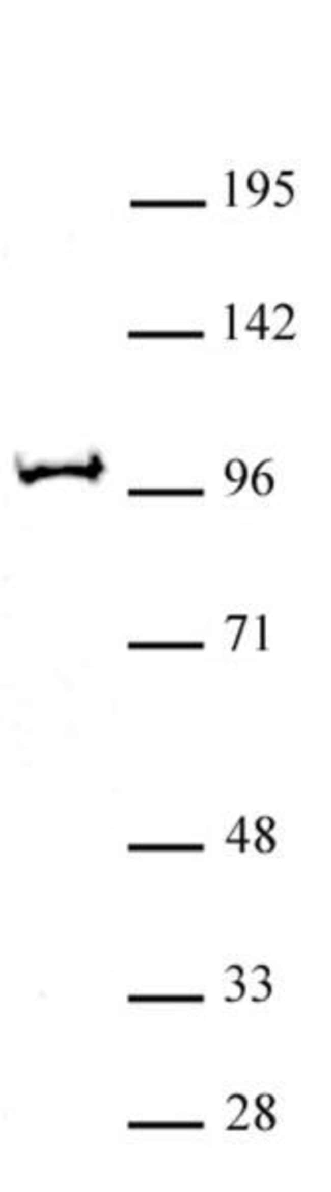 BAP1 Rabbit anti-Mouse, Unconjugated, Polyclonal, Active Motif:Antibodies:Primary