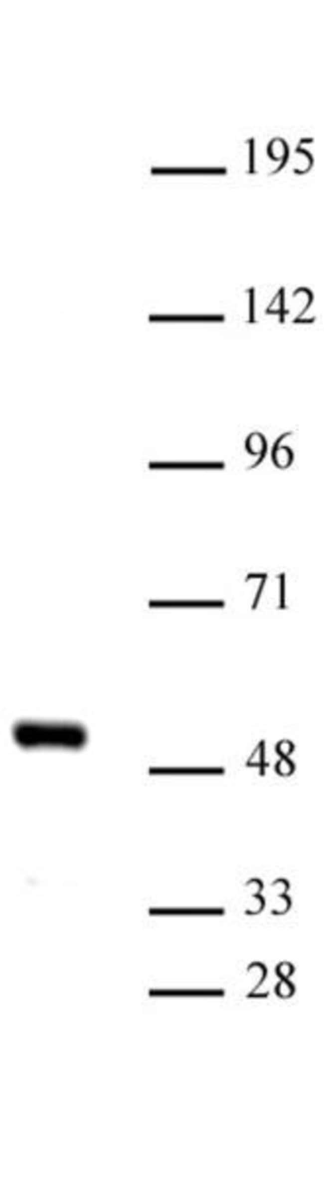 IRF-4 Rabbit anti-Human, Unconjugated, Polyclonal, Active Motif:Antibodies:Primary