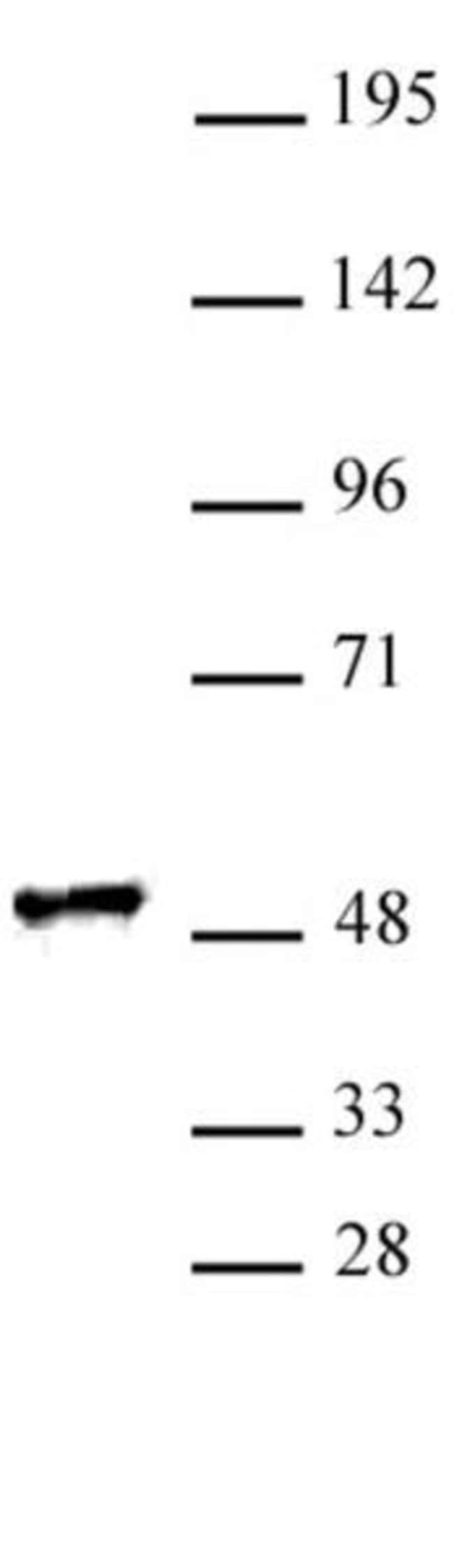RING1 Rabbit anti-Human, Unconjugated, Polyclonal, Active Motif:Antibodies:Primary
