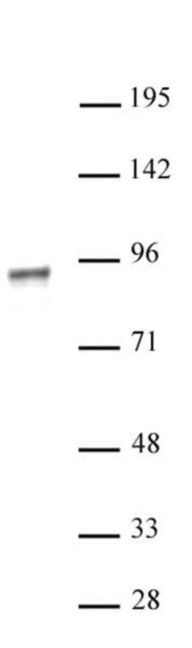 NR3C1 Rabbit anti-Human, Unconjugated, Polyclonal, Active Motif:Antibodies:Primary