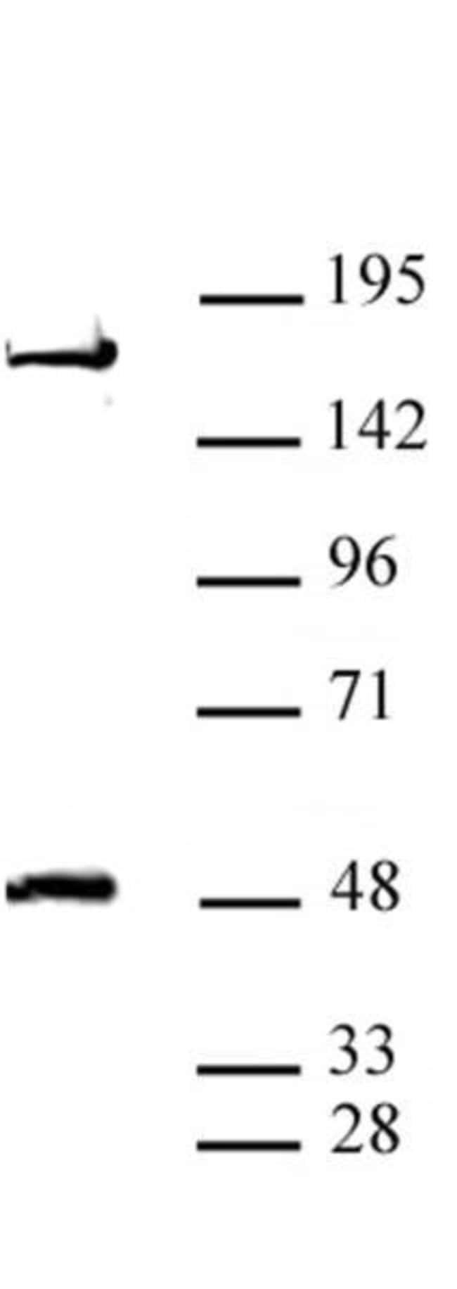 AEBP2 Rabbit anti-Mouse, Unconjugated, Polyclonal, Active Motif:Antibodies:Primary
