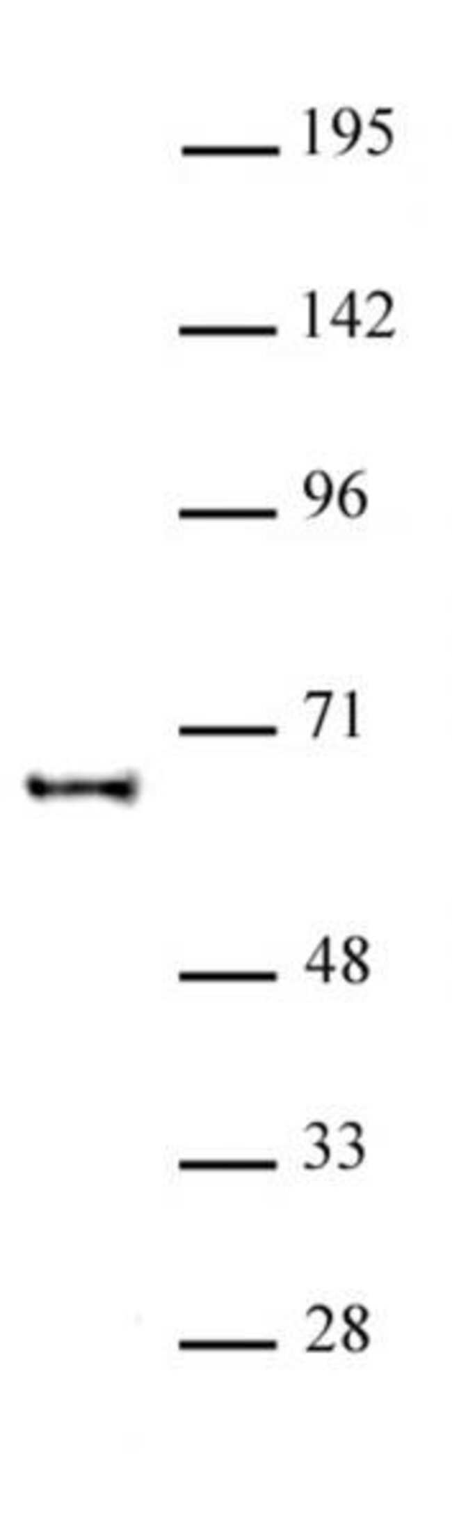 KAT5 Rabbit anti-Human, Unconjugated, Polyclonal, Active Motif:Antibodies:Primary