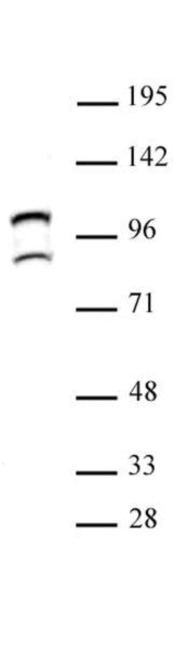 STAT6 Rabbit anti-Human, Unconjugated, Polyclonal, Active Motif:Antibodies:Primary