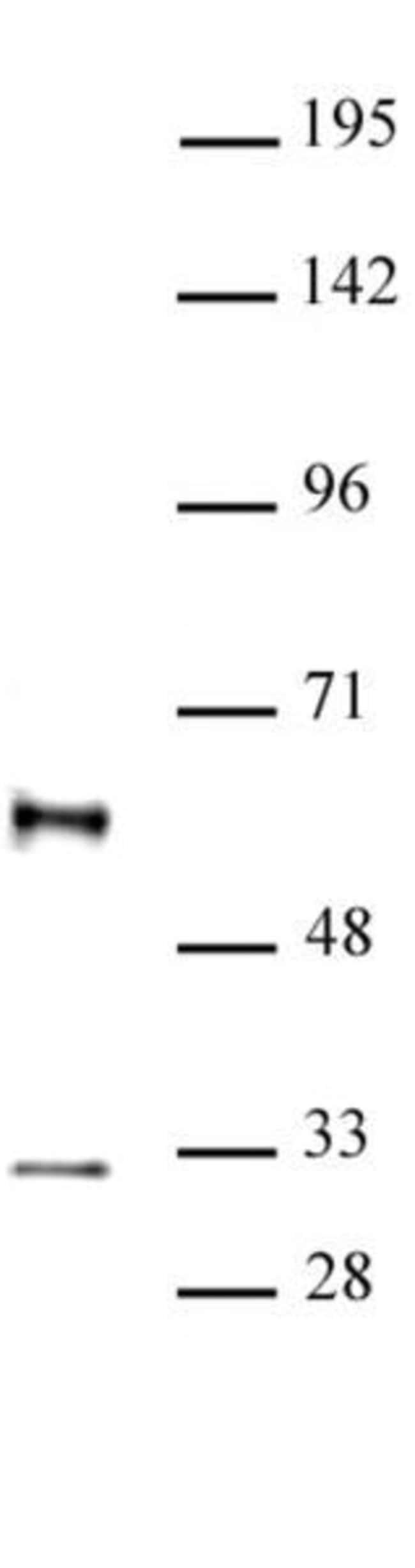 GFI1 Rabbit anti-Human, Unconjugated, Polyclonal, Active Motif:Antibodies:Primary
