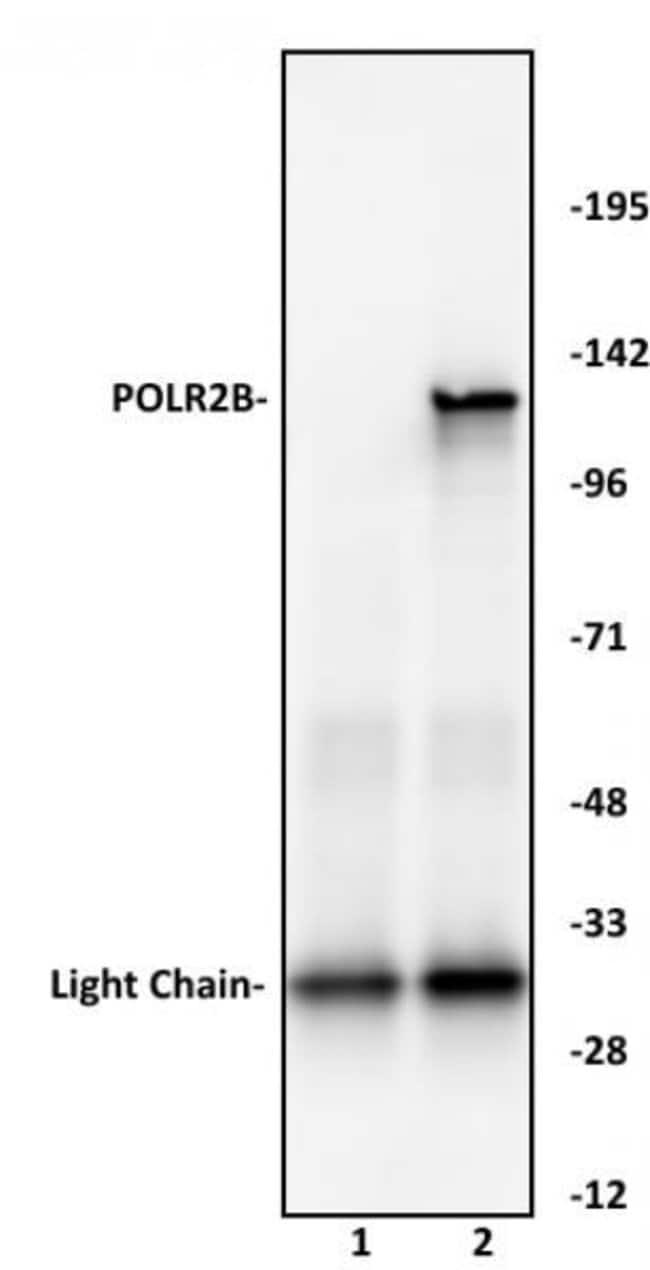 POLR2B Rabbit anti-Human, Unconjugated, Polyclonal, Active Motif:Antibodies:Primary