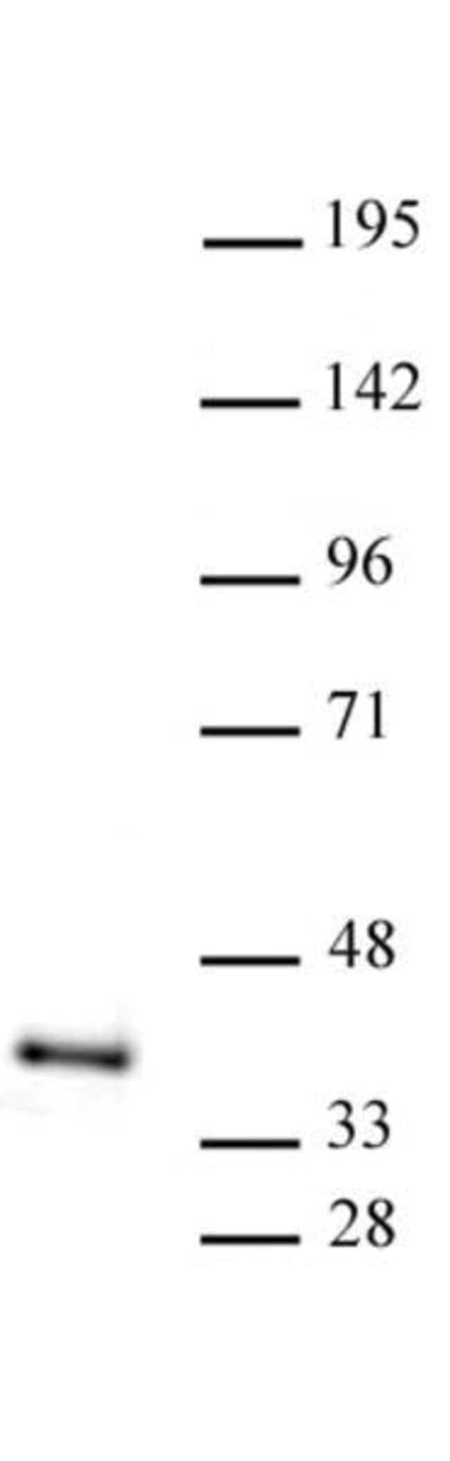 ATF1 Rabbit anti-Human, Unconjugated, Polyclonal, Active Motif:Antibodies:Primary