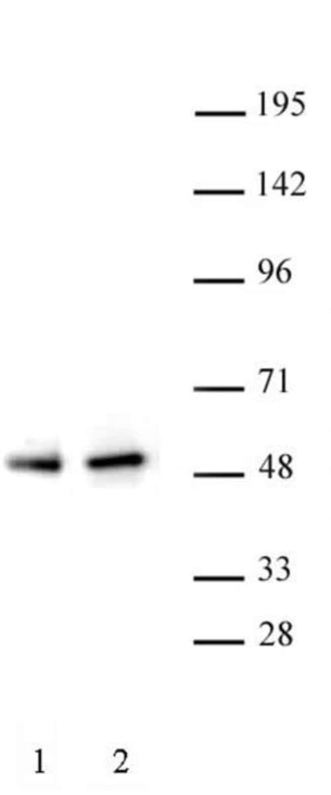 PAX5 Rabbit anti-Human, Unconjugated, Polyclonal, Active Motif:Antibodies:Primary