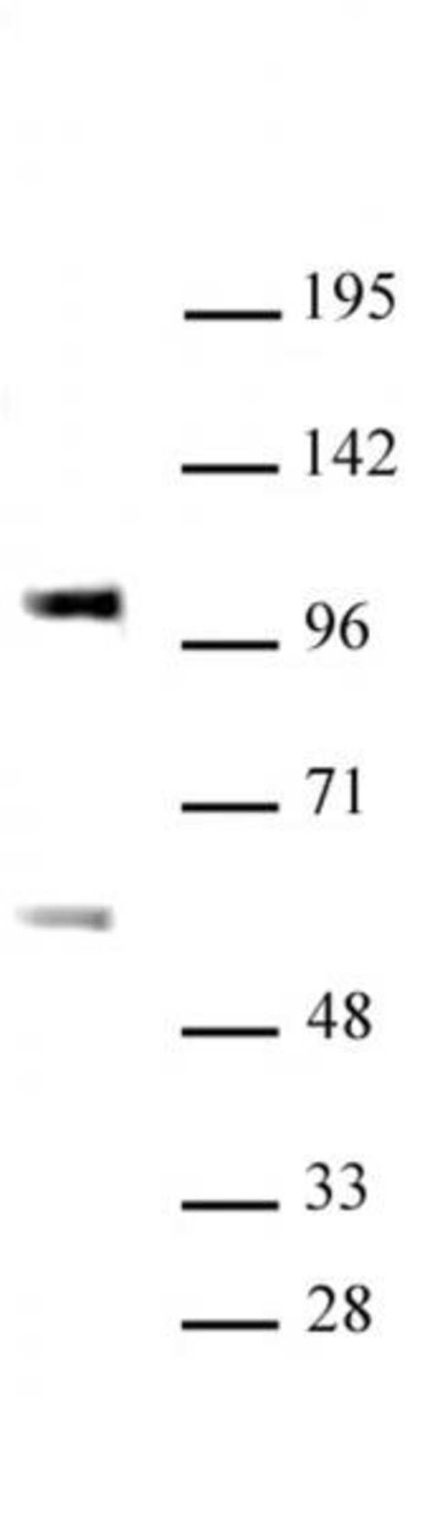SP3 Rabbit anti-Human, Unconjugated, Polyclonal, Active Motif:Antibodies:Primary