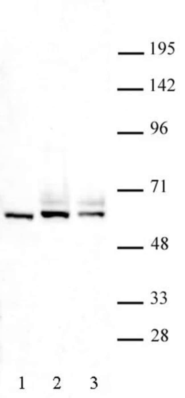 FOXO4 Rabbit anti-Human, Mouse, Unconjugated, Polyclonal, Active Motif:Antibodies:Primary