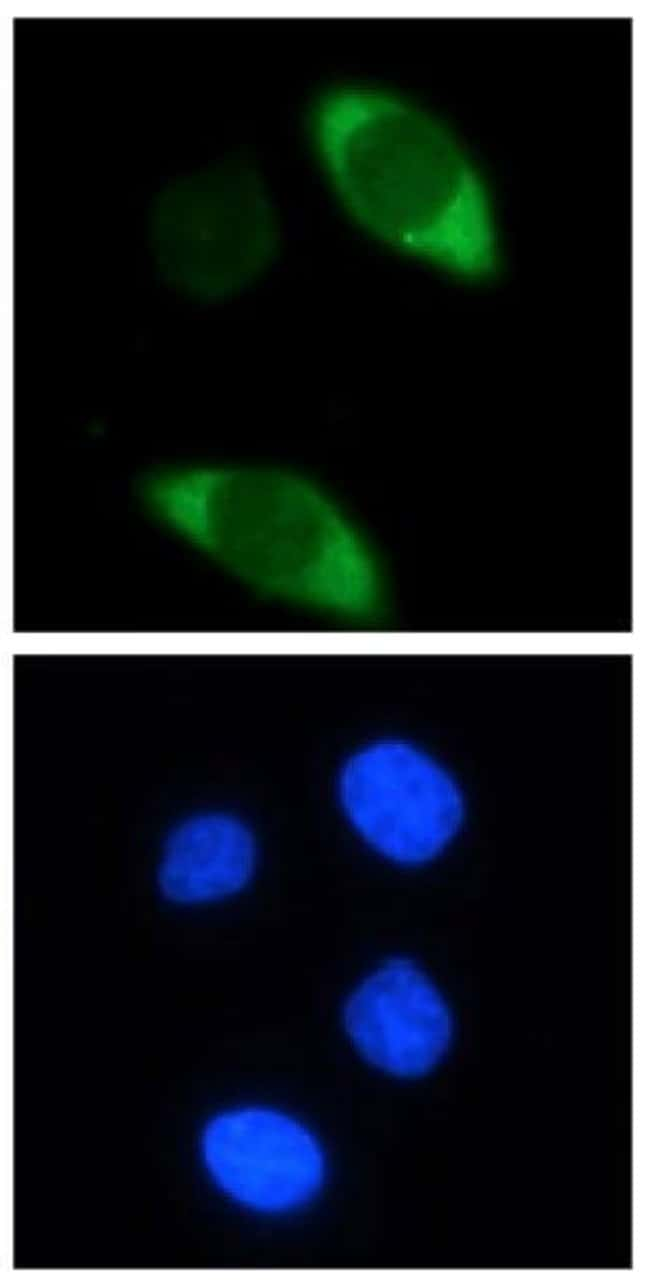 Cas9 Mouse anti-Human, Clone: 7A9-3A3, Active Motif:Antibodies:Primary