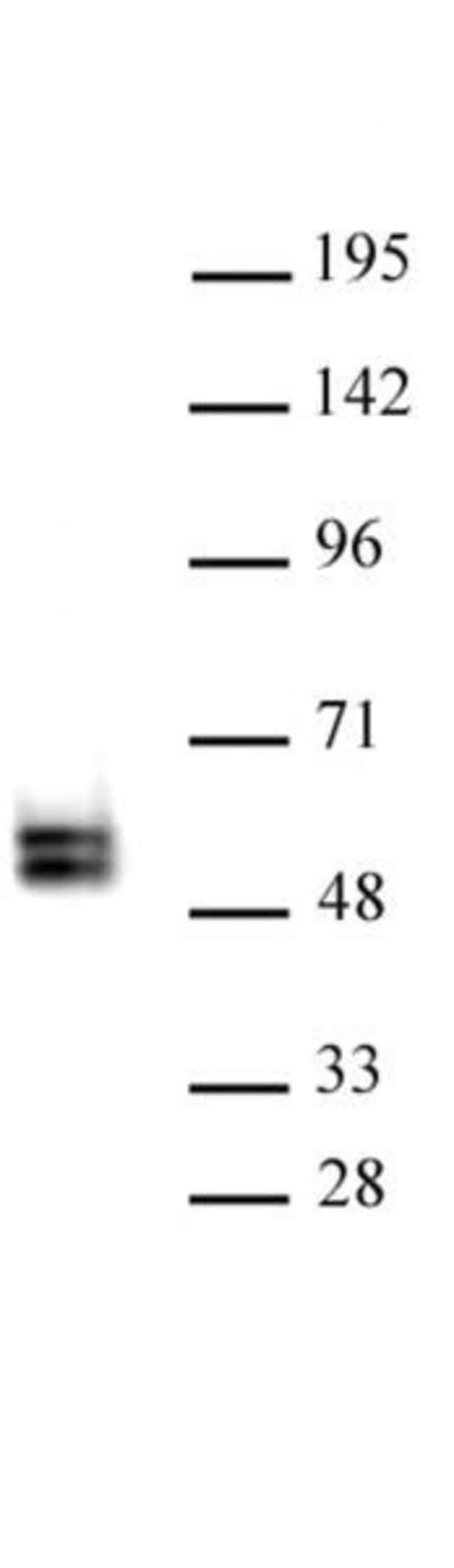 TCF7 Rabbit anti-Human, Unconjugated, Polyclonal, Active Motif:Antibodies:Primary