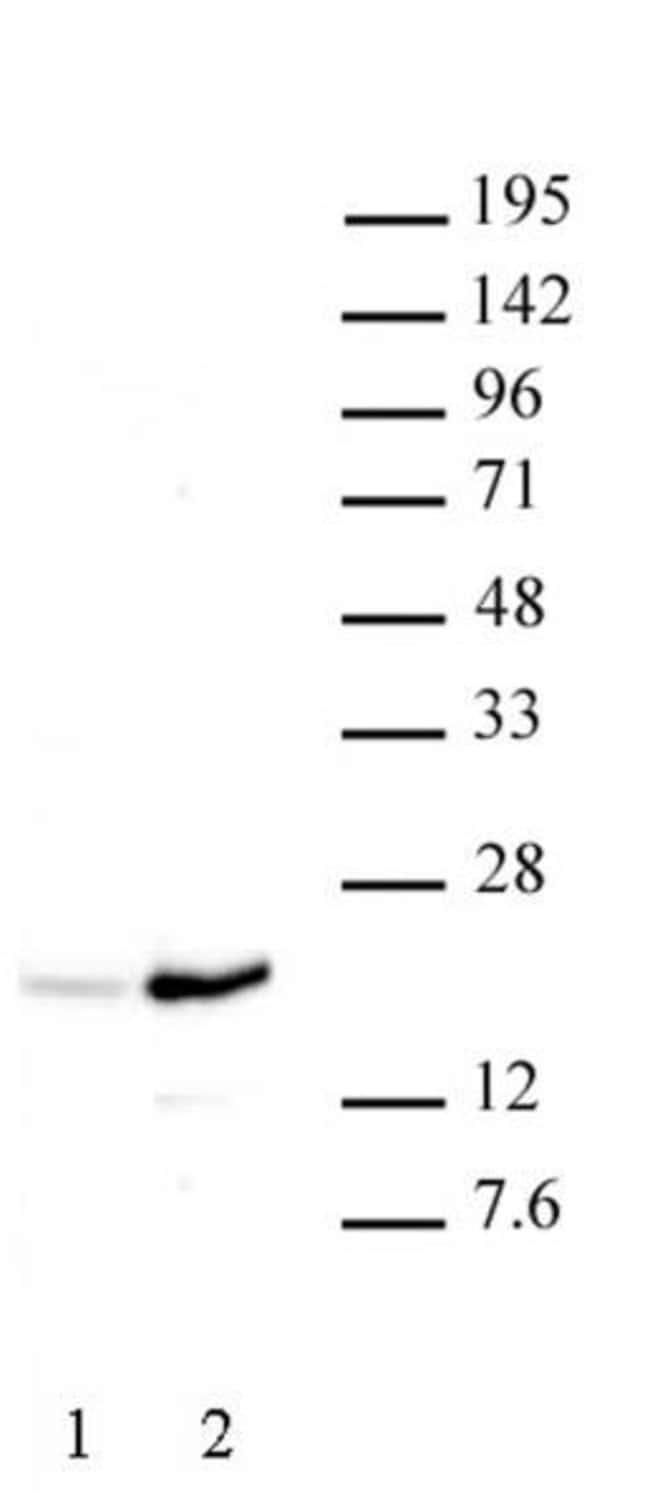 Histone H3K37ac Rabbit anti-Human, Unconjugated, Polyclonal, Active Motif:Antibodies:Primary