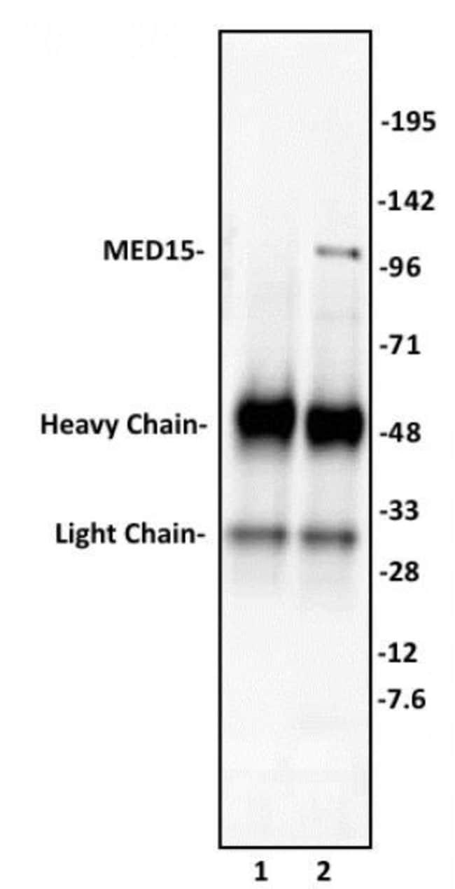 MED15 Rabbit anti-Human, Unconjugated, Polyclonal, Active Motif:Antibodies:Primary