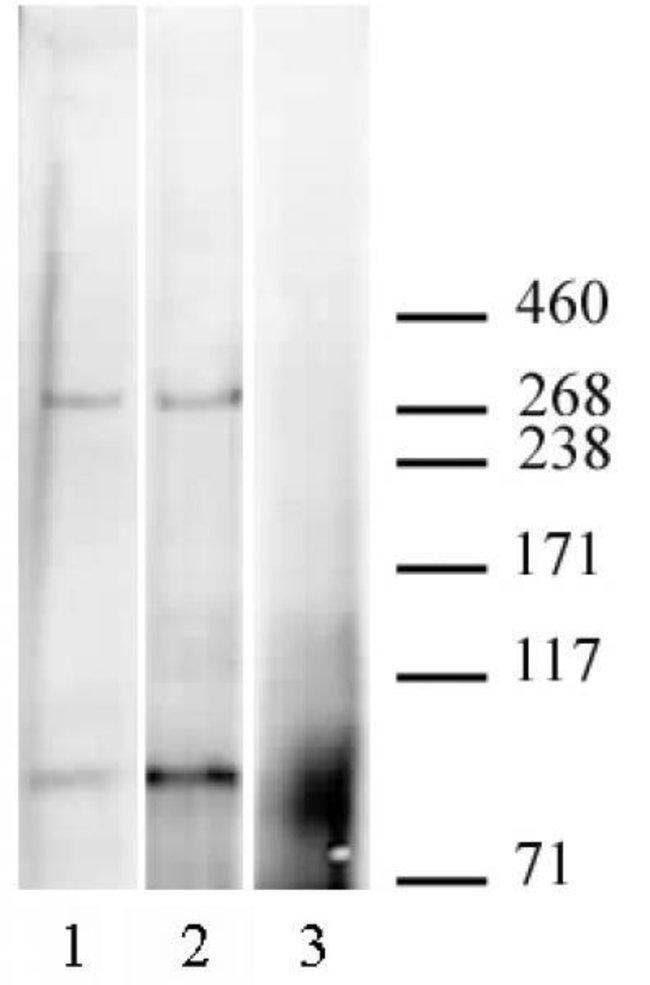 CABIN1 Rabbit anti-Human, Unconjugated, Polyclonal, Active Motif:Antibodies:Primary