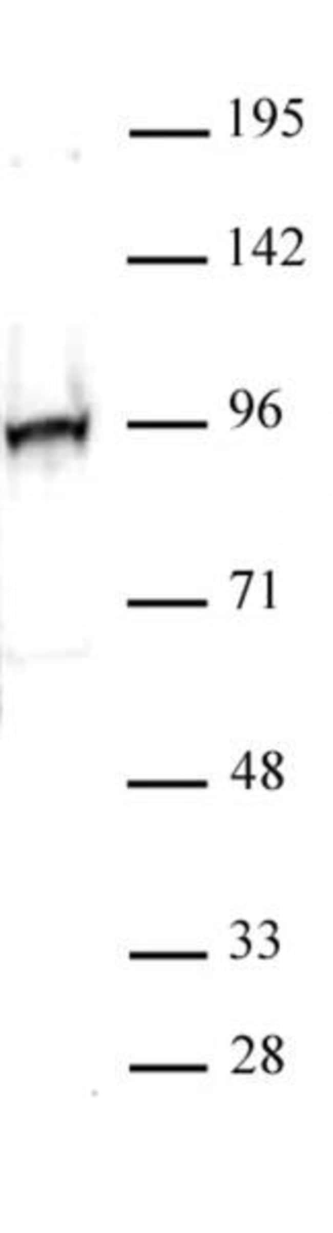 NRF2 Rabbit anti-Human, Unconjugated, Polyclonal, Active Motif:Antibodies:Primary