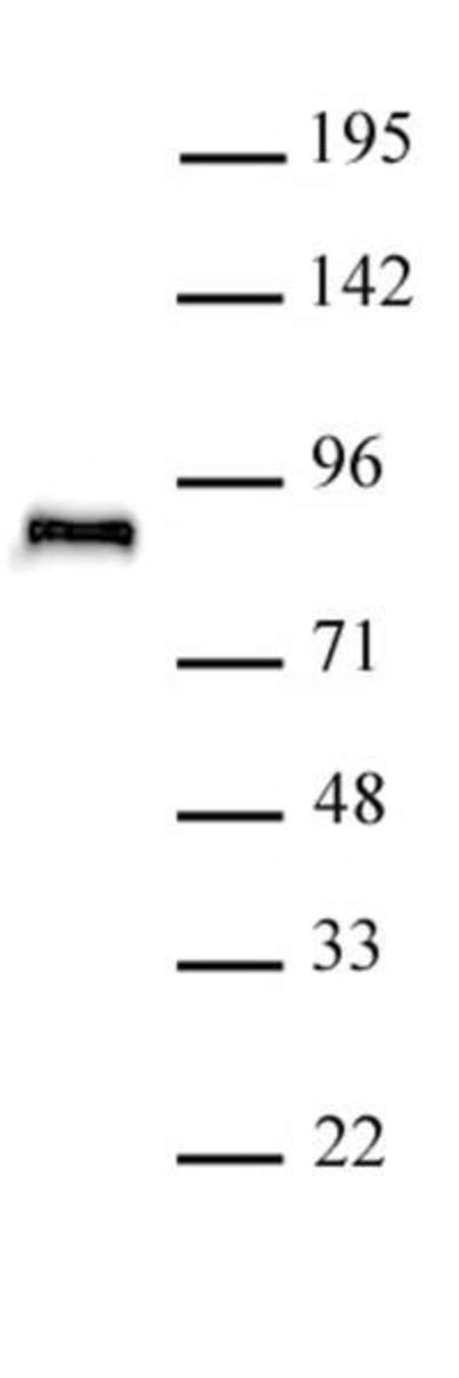 TCF4 Rabbit anti-Human, Unconjugated, Polyclonal, Active Motif:Antibodies:Primary