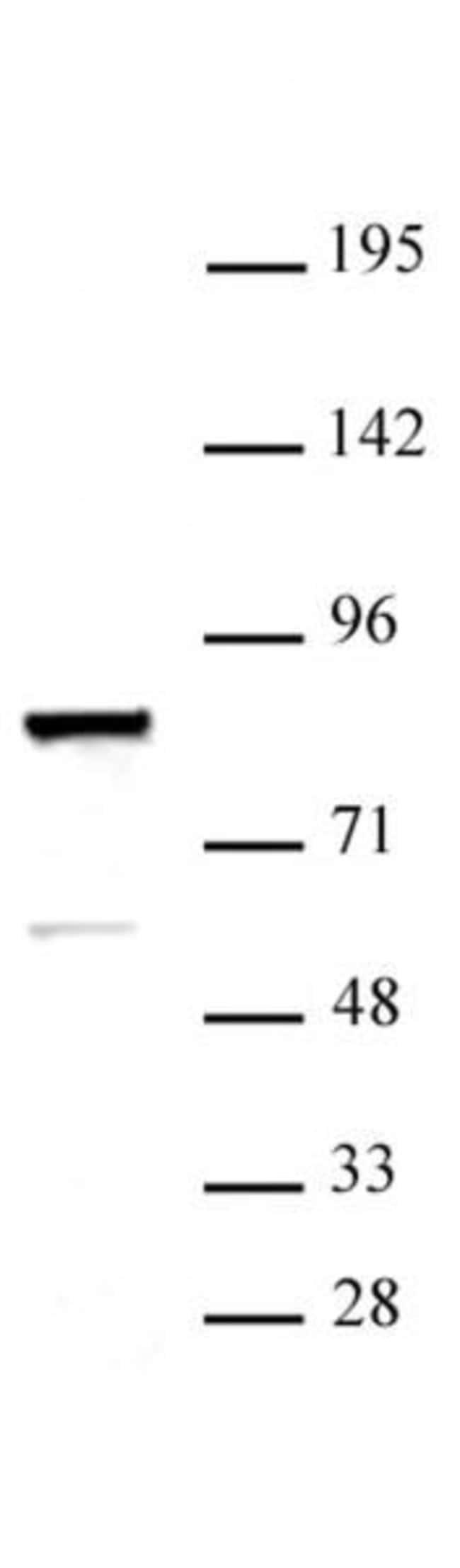 ARID3A Rabbit anti-Human, Unconjugated, Polyclonal, Active Motif:Antibodies:Primary