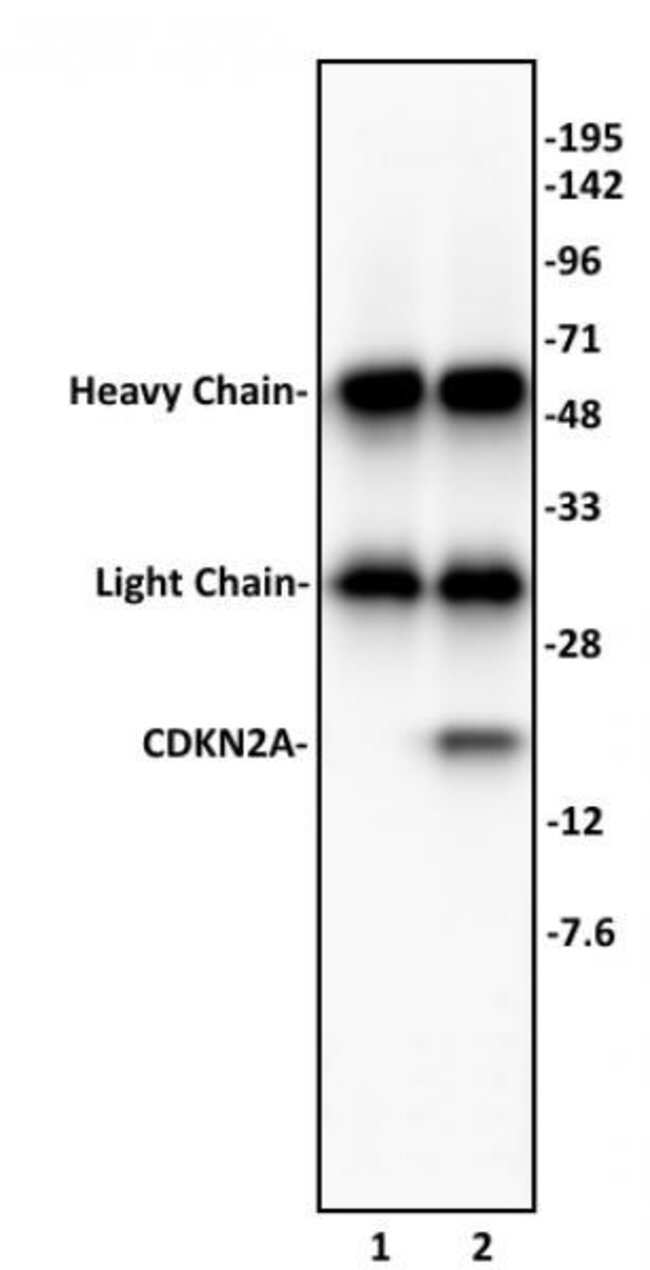 CDKN2A Rabbit anti-Human, Unconjugated, Polyclonal, Active Motif:Antibodies:Primary