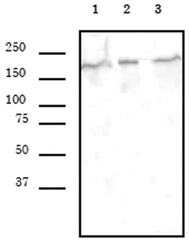 SMARCA4 Rat anti-Human, Monkey, Mouse, Clone: 5B7, Active Motif:Antibodies:Primary