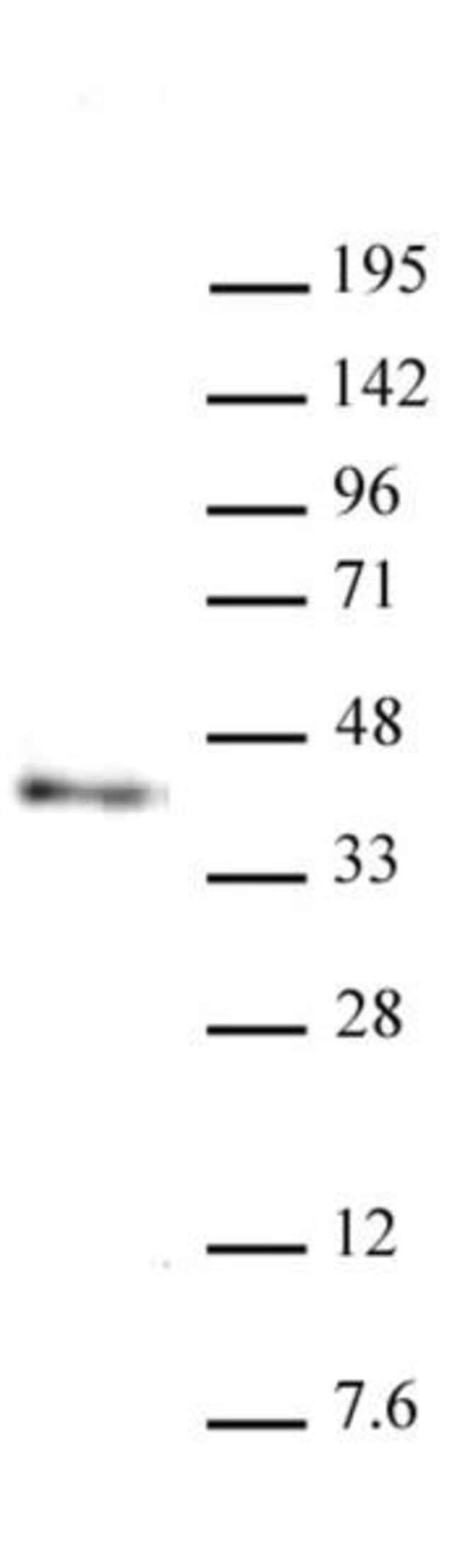 Nanog Rat anti-Mouse, Clone: 2E6E1, Active Motif:Antibodies:Primary Antibodies
