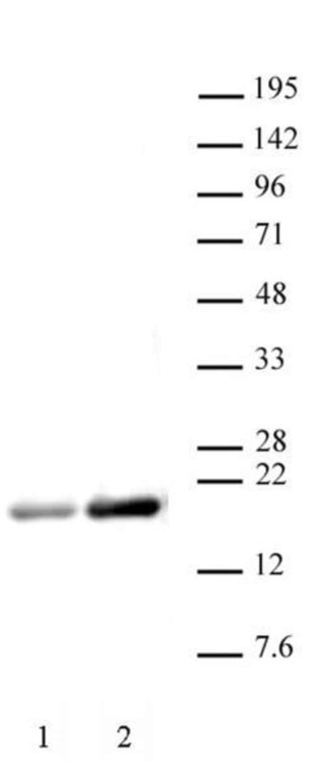 Histone H3ac (pan-acetyl) Rabbit anti-Human, Unconjugated, Polyclonal,
