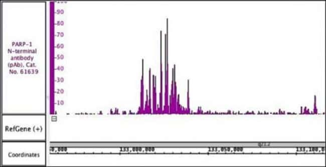 PARP-1 N-terminal Rabbit anti-Human, Unconjugated, Polyclonal, Active Motif:Antibodies:Primary