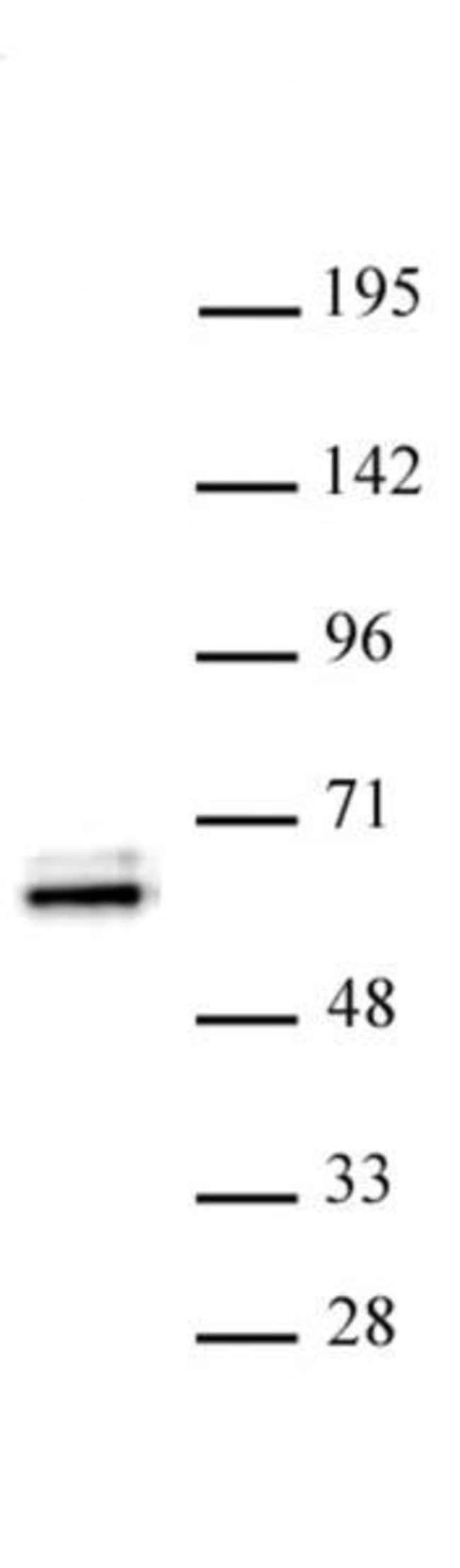 TEAD1 Rabbit anti-Human, Unconjugated, Polyclonal, Active Motif:Antibodies:Primary