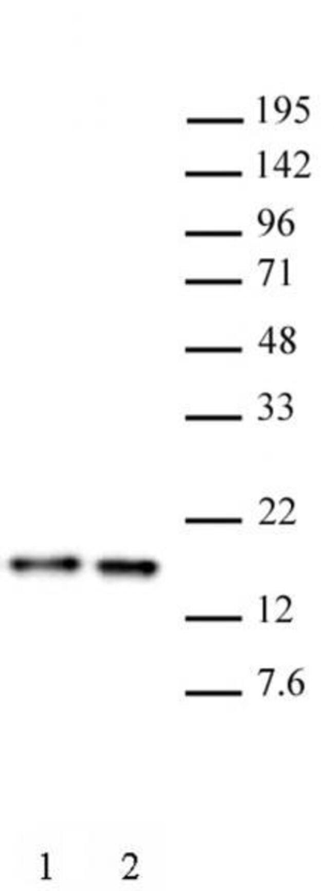 Histone H3 Rat anti-Human, Clone: 1C8B2, Active Motif:Antibodies:Primary