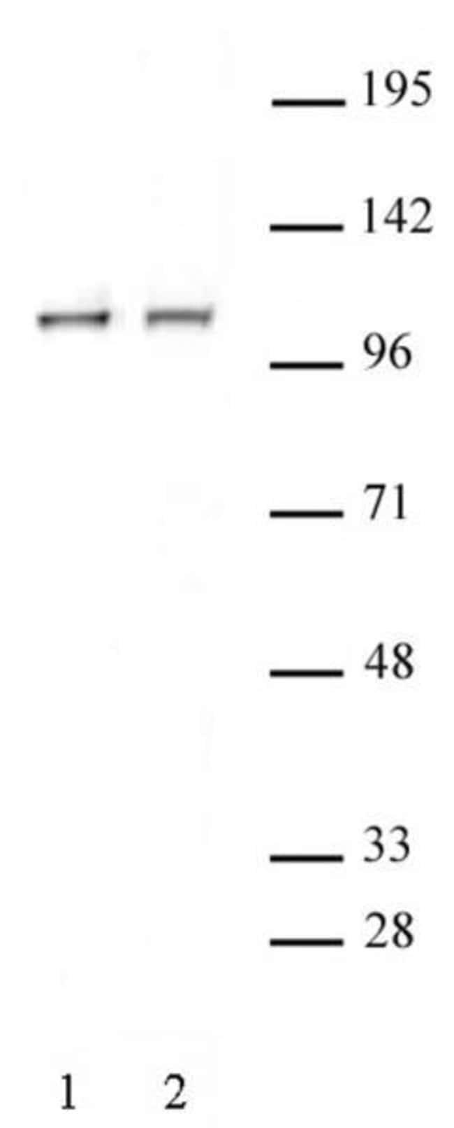 STAT2 Rabbit anti-Human, Unconjugated, Polyclonal, Active Motif:Antibodies:Primary
