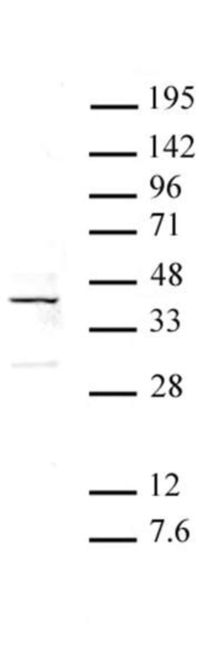 ATF4 Rabbit anti-Human, Unconjugated, Polyclonal, Active Motif:Antibodies:Primary