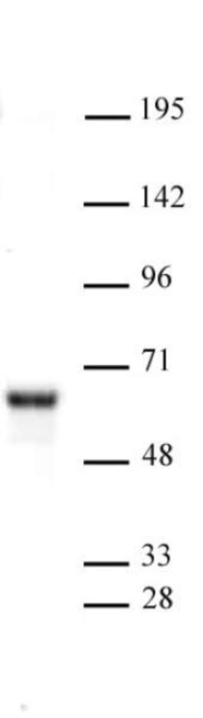 NR0B1 Rabbit anti-Human, Unconjugated, Polyclonal, Active Motif:Antibodies:Primary